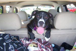 Transportar cachorro em carro